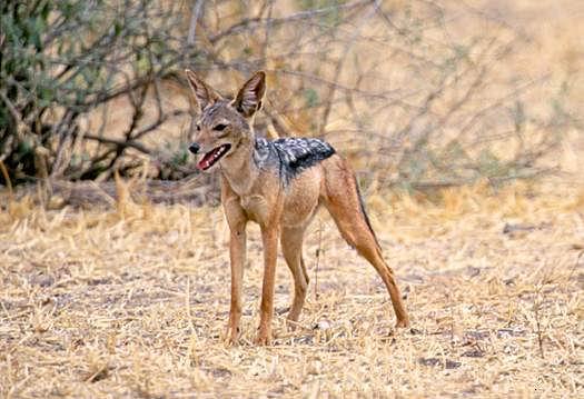 Шакал чепрачный - Canis mesomelas - обитает в Африке двумя
