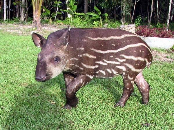вот так выглядит этот зверь - тапир